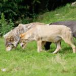 Managementplan für den Wolf in Brandenburg vorgestellt