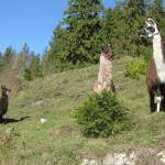 Lama-Trekking durch die Lüneburger Heide