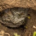 Kein Grund zur Panik: Tipps im Umgang mit Wespen beim Wandern und Zelten