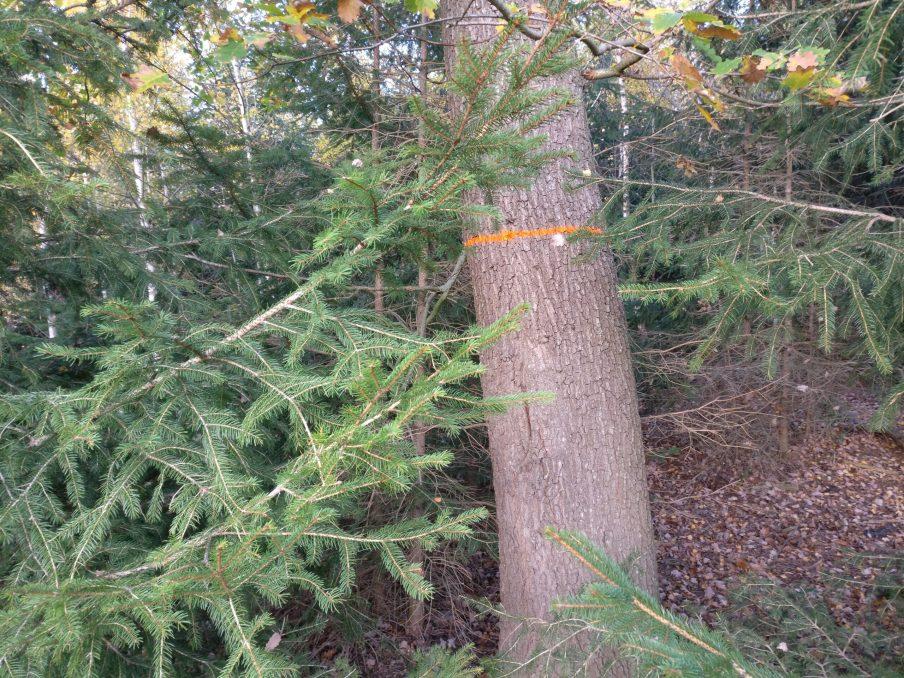 Baummarkierung Zukunftsbaum mit Ring